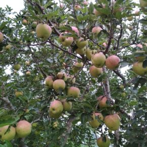 Scab and shortage of workers play double whammy for apple growers